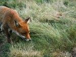 combe_haven_fox