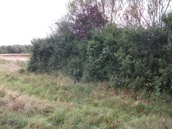 Hedgerow at risk in the Combe Haven valley near Adams Farm