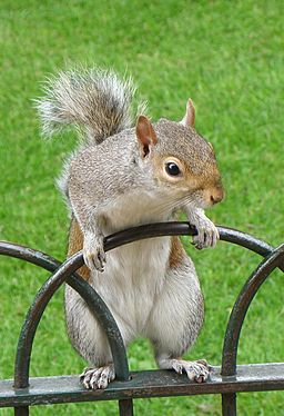 Grey_Squirrel--St-Jamess-Park-London-1