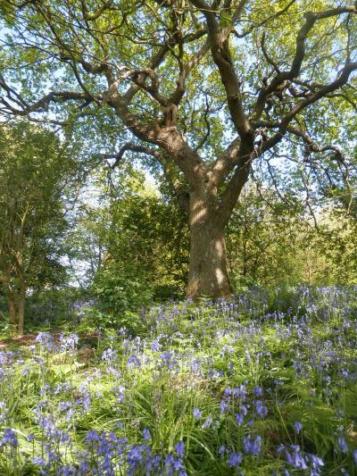 Holllington Valley SNCI: the big oak